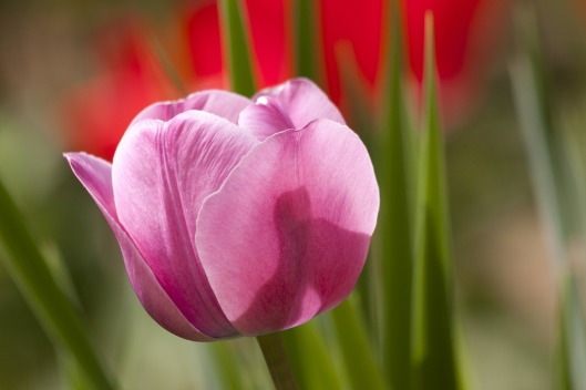 tulip-65789_1280 httppixabay.comes